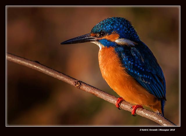 Mascle de blauet 45 (Alcedo atthis) Male Common Kingfisher (El Perelló, la Ribera Baixa, València, l'Horta, Spain)