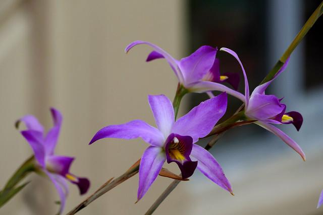 Laelia anceps species orchid 1-18