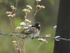 Yellow-bellied Seedeater (Sporophila nigricollis)