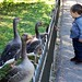 05 Feeding the Geese