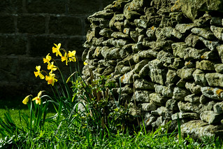 20170330-65_Cheerful Spring Daffs + Dry Stone Wall