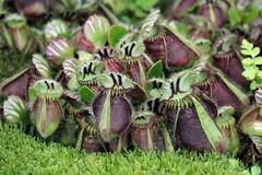 Cephalotaceae