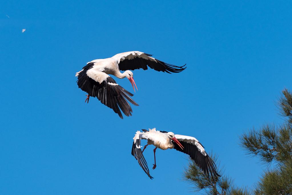 White Storks Fighting (Shot 11 of 11)