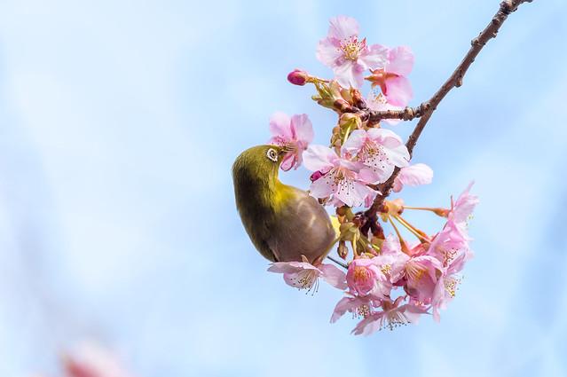 河津桜とメジロ@長谷寺
