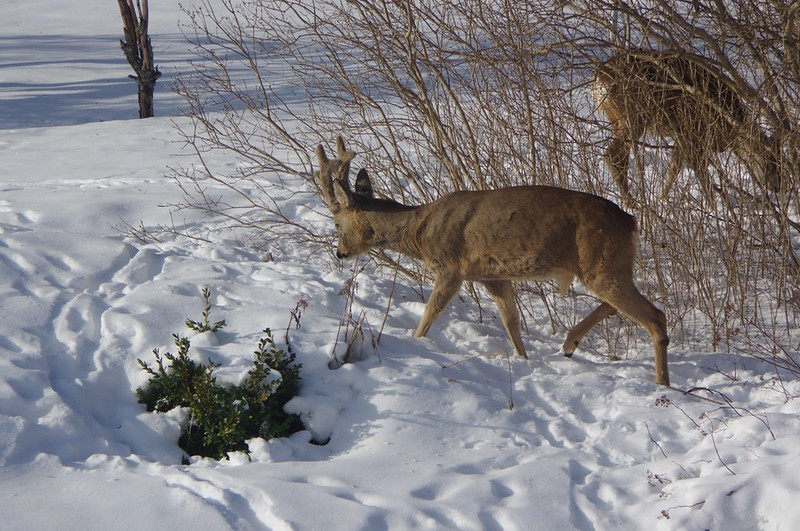 Fooding the deers