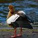 Egyptian goose, holding wings slightly raised