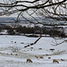 Eden Valley, snow, sheep, horses and starlings.