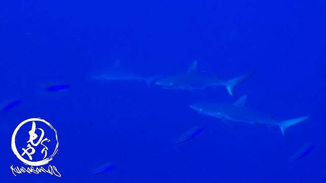 活発なサメ達♪