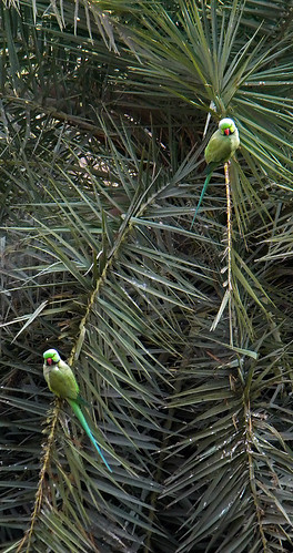 Green parrots in a palm tree at Agra Fort, India