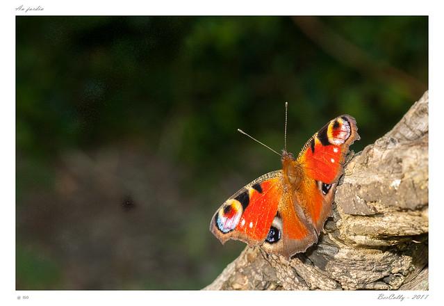 Papillons | Butterflies
