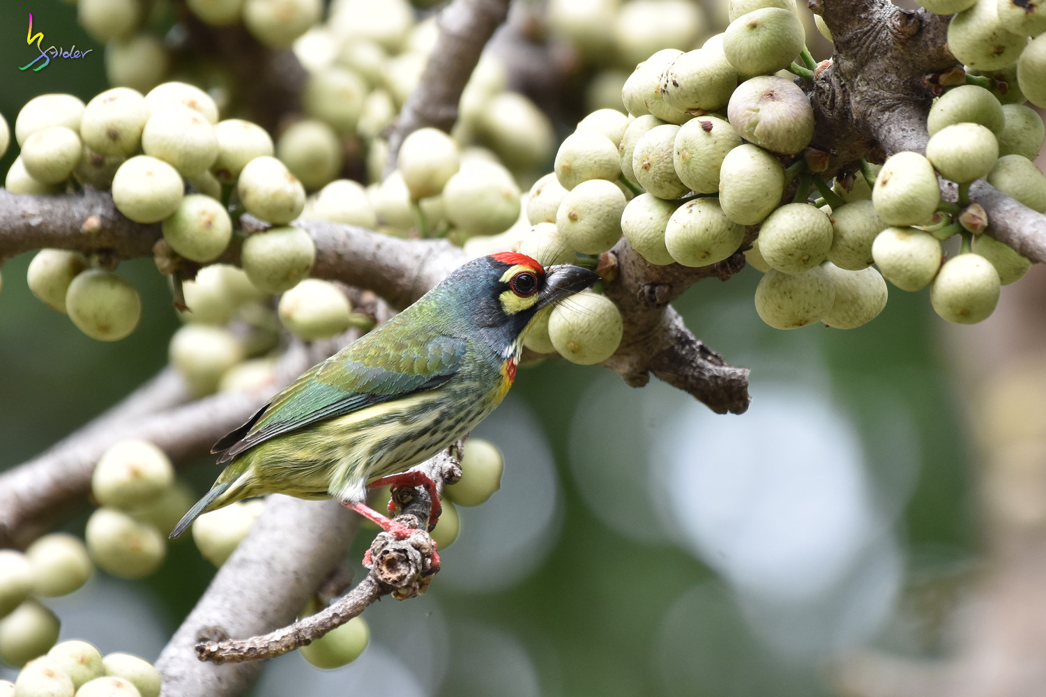 Coppersmith_Barbet_1977