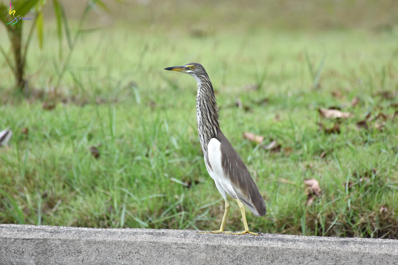 Pond_Heron_4422