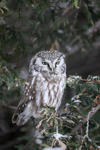 Boreal owl - Nyctale de Tengmalm - Aegolius funereus