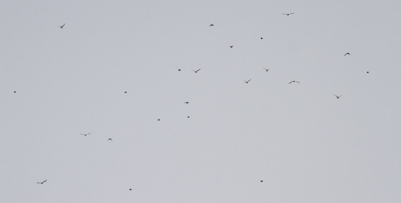 Hawfinch flock, Southill Park, 12th January 2017