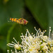 Hovering fly 2