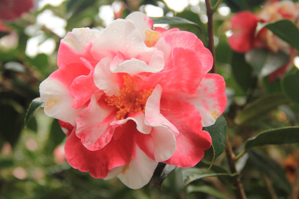 Camellias, Terra Nostra Garden