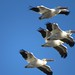 White pelicans by Mercer52