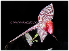 Paphiopedilum rothschildianum (Rothschild's Slipper Orchid, Gold of Kinabalu Orchid) with purple stripes