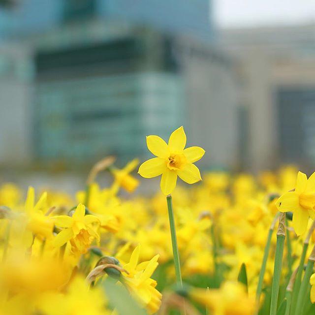 日曜日、フィルムの現像をしにヨドバシに。 待ち時間が3時間もあるので、時間潰しにうめきたガーデンへ。でも着いてすぐ雨が降り出し、早々に退散。。(´-`) #うめきたガーデン #花 #flowers #雨 #flowerstagram #オールドレンズ #オールドレンズ部 #フレクトゴン #flektogon #photooftheday #igresjp #igres #art_of_japan_ #webstagram #japan #cooljapan #japan_of_insta #amazing