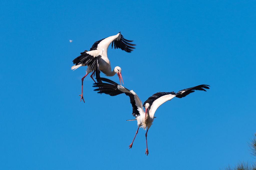 White Storks Fighting (Shot 10 of 11)