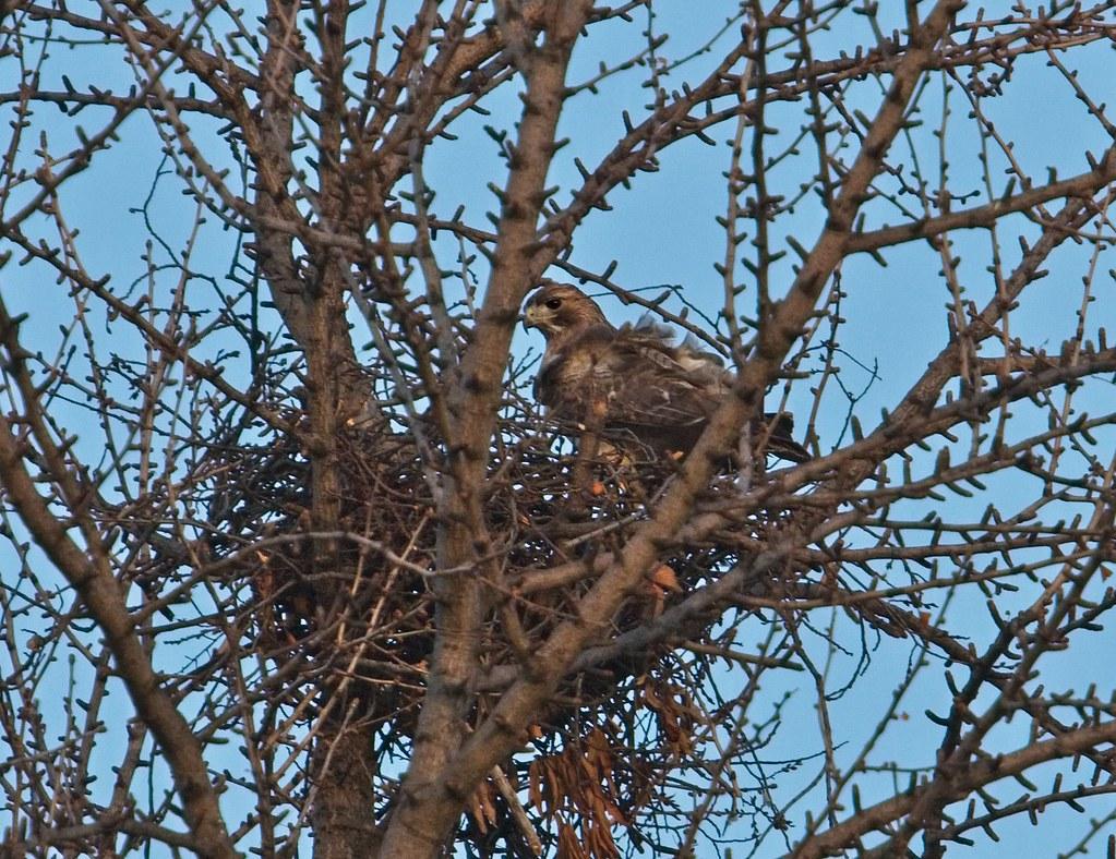 Christo works on the ginkgo nest