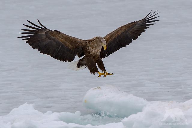 Eagle Landing, Nikon D4S, AF-S VR Zoom-Nikkor 200-400mm f/4G IF-ED