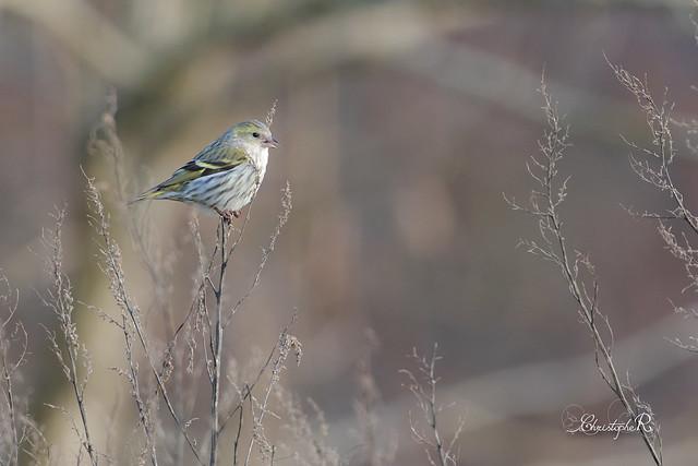 Tarin des aulnes - Carduelis spinus (Domaine Des Oiseaux, Ariège) 18 février 2018