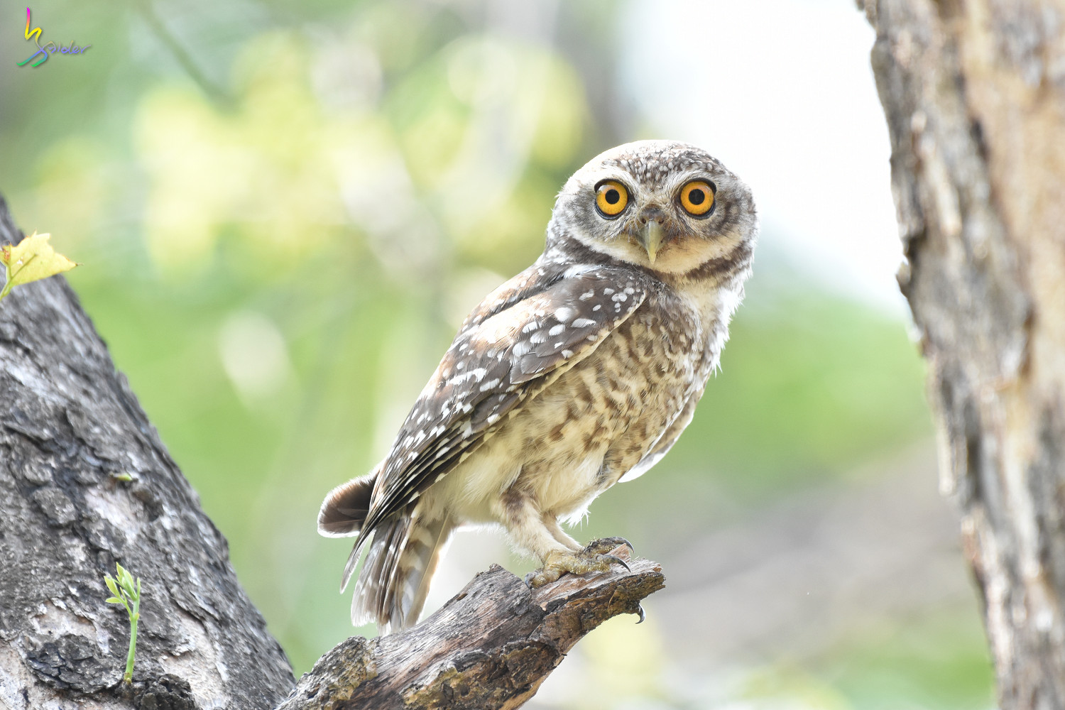 Spotted_Owlet_4750
