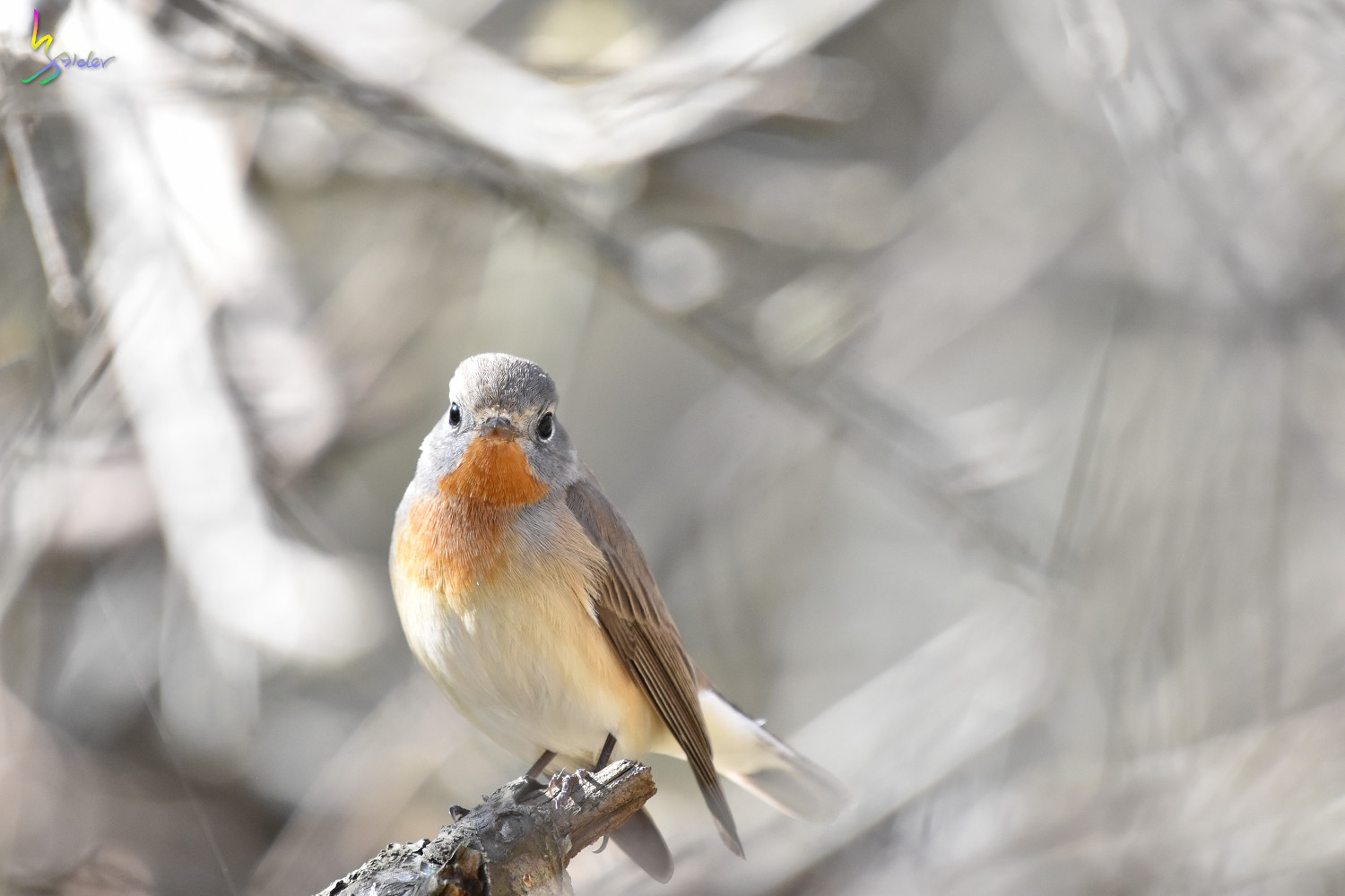 Red-breasted_Flycatcher_6588