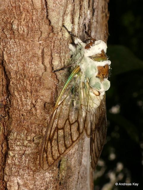 Cicada with entomopathogenic fungus, Beauveria bassiana or Metarhizium sp.?