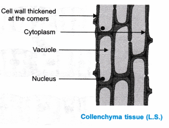 ncert-class-9-science-lab-manual-plant-and-animal-tissues-5
