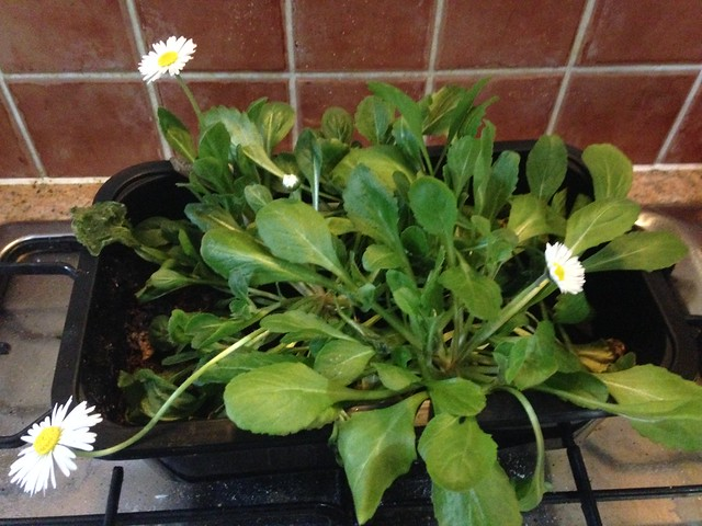 Daisies flowering in the kitchen