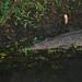 Freshwater Crocodile, Kakadu National Park