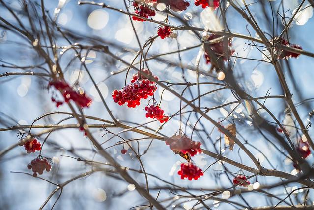 Winter Berries 2