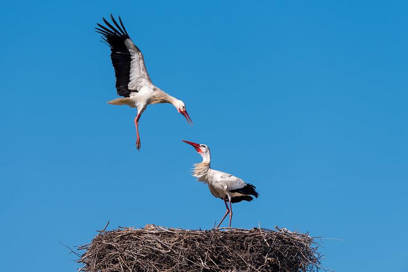 White Stork Attack