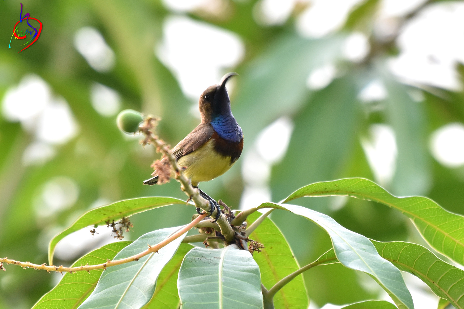 Olive-backed_Sunbird_0727