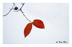 SHF_3996_Red-leaves