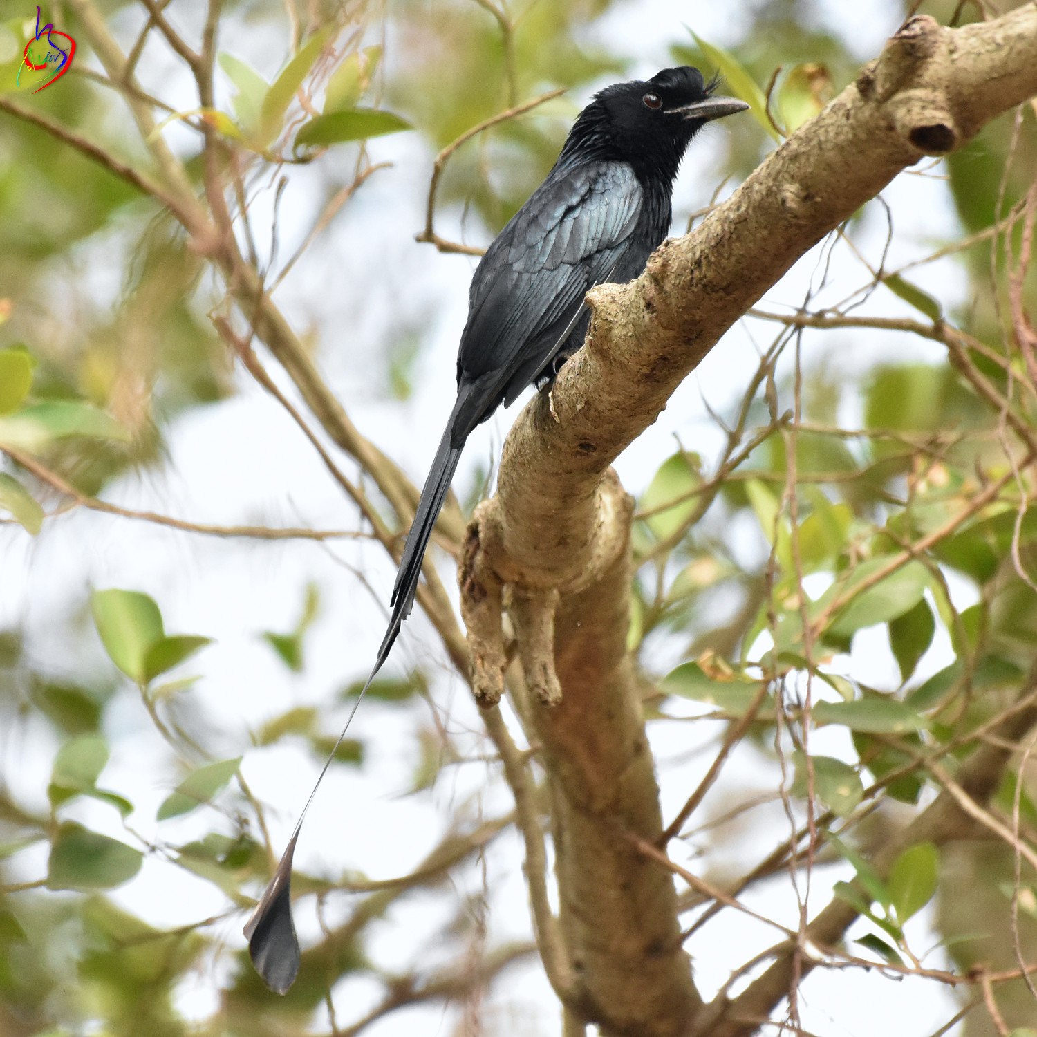 Greater_Racket-tailed_Drongo_3492
