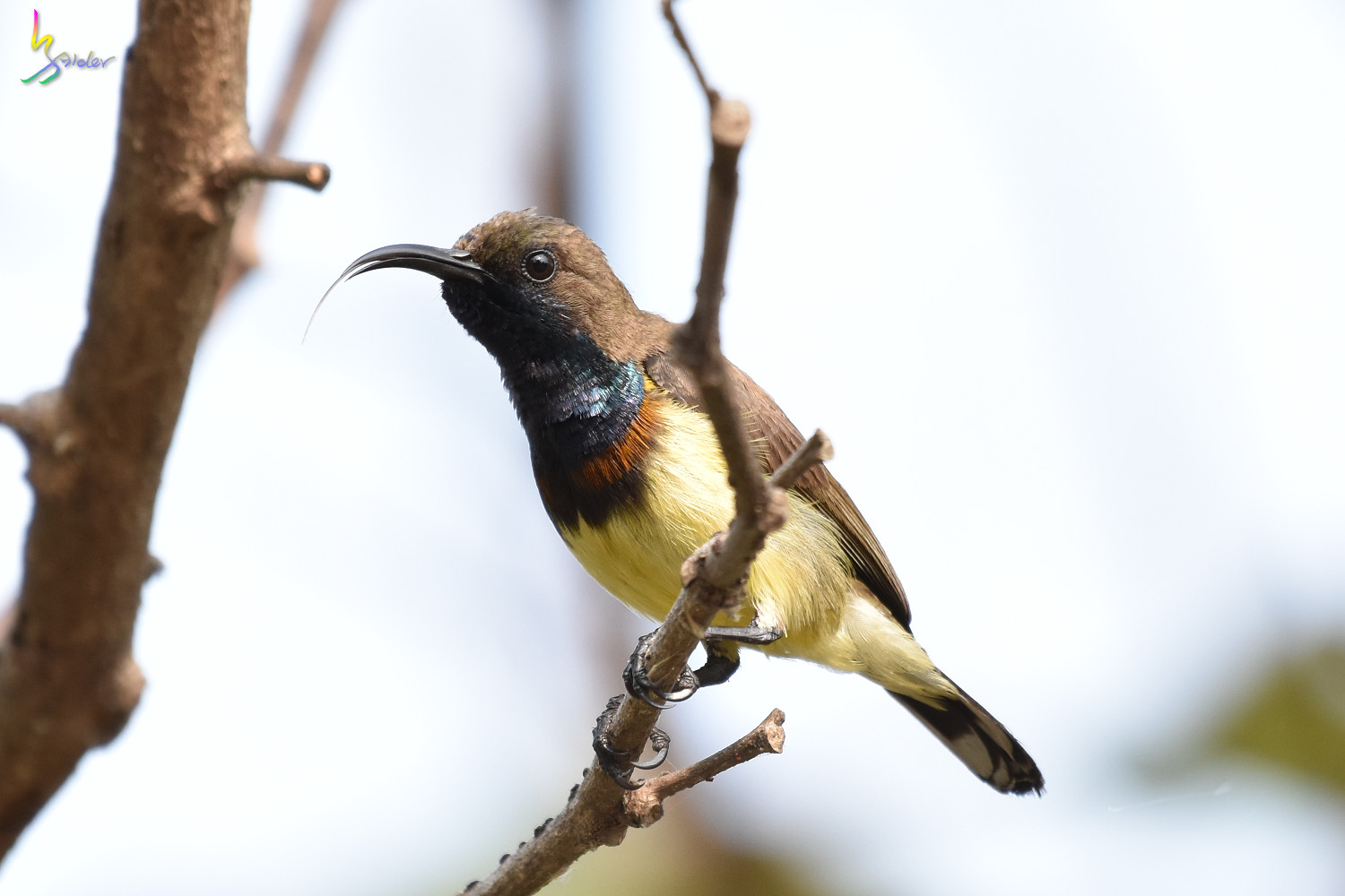 Olive-backed_Sunbird_0862