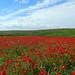 011 Poppy Field