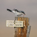 Small photo of Loggerhead Shrike (Lanius ludovicianus)