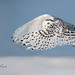 Harfang des neiges / Snowy Owl by richard_morel