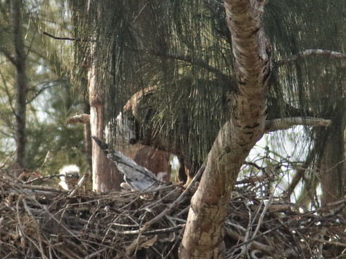 Bald Eagle chick watches 07-20180131