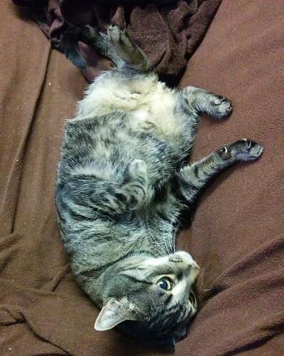 Shakespeare, upside-down #toronto #dovercourtvillage #shakespeare #cats #catsofinstagram #caturday #catstagram