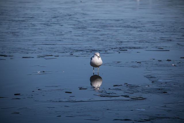 seagullreflection