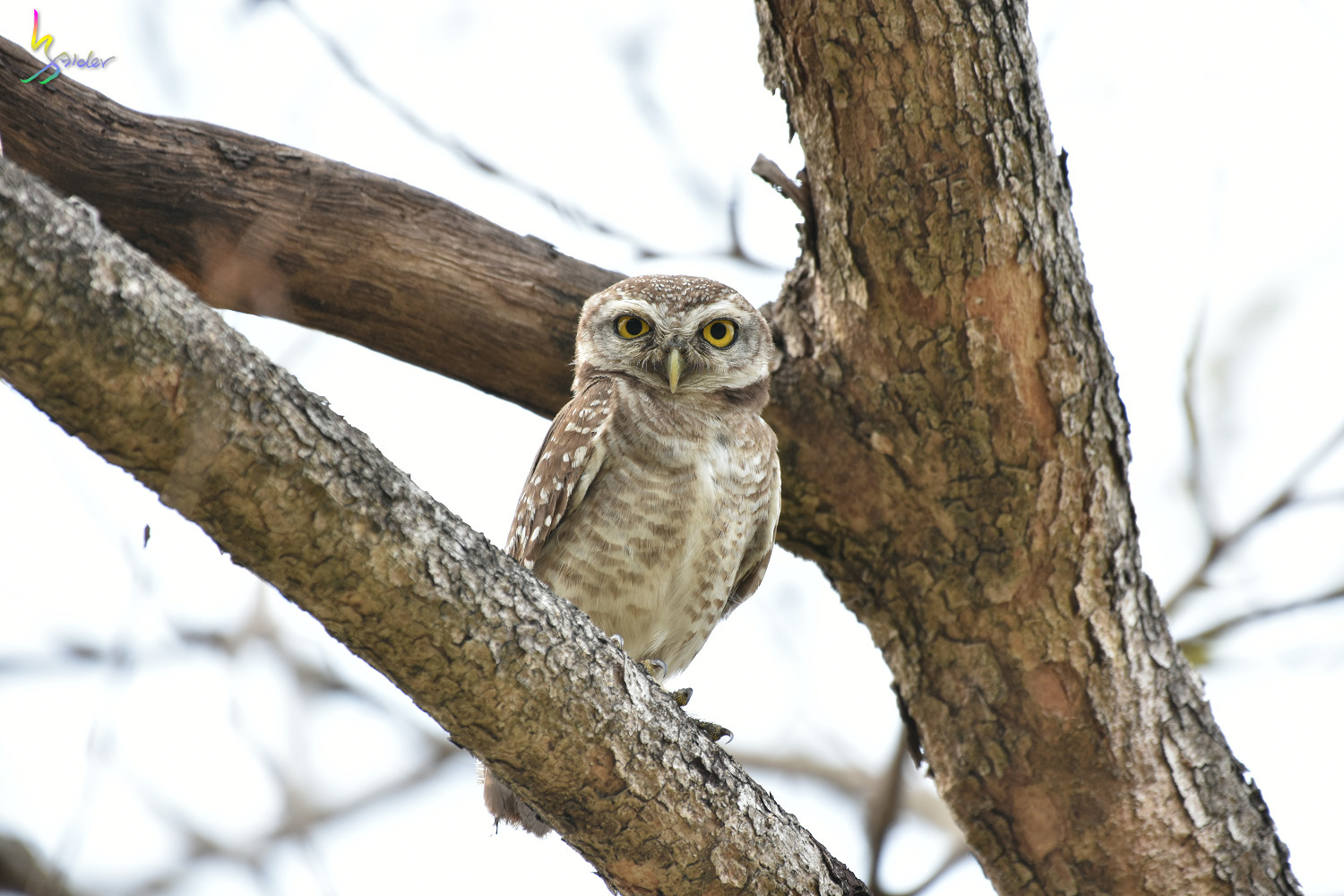 Spotted_Owlet_2433
