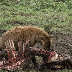 Creative Commons A hyena devouring a kill