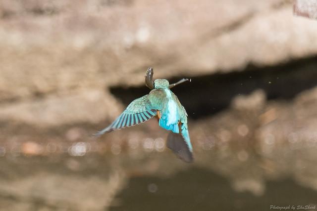 20180303-kingfisher-DSC_9465