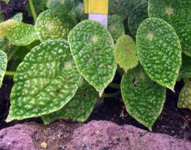Begonia microsperma 40093472601_a5986c2782_o