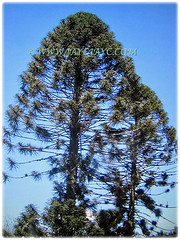 Conical and symmetrical trees of Araucaria bidwillii (Bunga Pine, Bunya-Bunya Tree, False Monkey Puzzle Tree, Queensland Pine), 8 Feb 2018